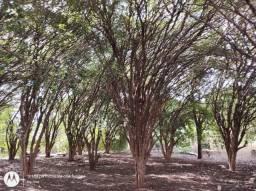 Jabuticabeira Sabará produzindo 60 anos