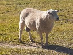 Vendo carneiro Texel