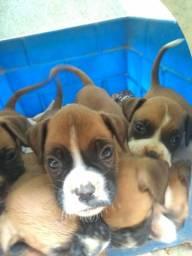 Vendo cachorros BOXER Puro