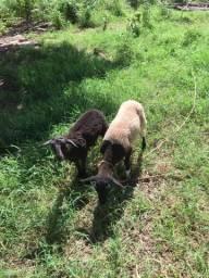 Casal de carneiros