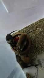 Esquilos da Mongólia - Gerbil