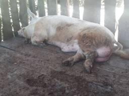 Casal porco grande média 350 kl cada