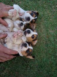 Beagle campos