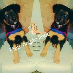 Rottweiler com viralata