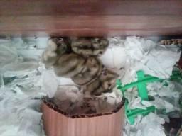 Doa-se filhotes de hamster com 21 dias