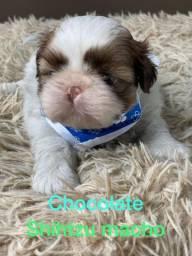 Shih Tzu Chocolatinho, não dá para resistir !!!!!