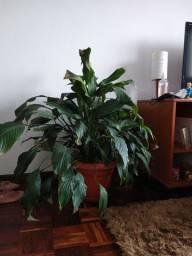 Lírio da paz (planta real em tamanho grande)
