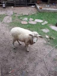 Ovelha nova branca pra venda whats *