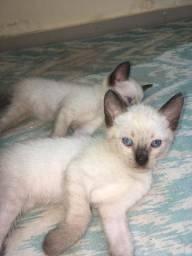 Doação gatos siamês