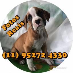 Filhote de Boxer (Anúncio Fotos Reais) entre em contato agora mesmo...
