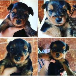 Filhotes de Yorkshire Terrier puros