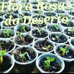 Rosas do deserto em Prado 12/2 por encomenda