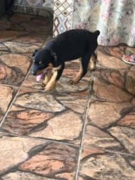 Rottweiler filhotes vacinados disponível