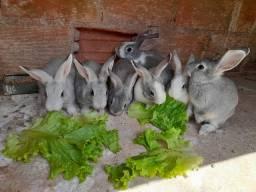 Vende-se Filhotes de coelho!!! * alguns tem o olho azul*