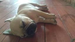 Bulldog francês barbada