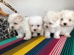 Vendo filhotes de cachorro da raça Maltês