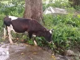 Mini Vaca Jersey