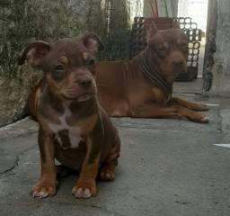 Pitbull tri color