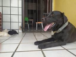 Venda Filhotes Labrador
