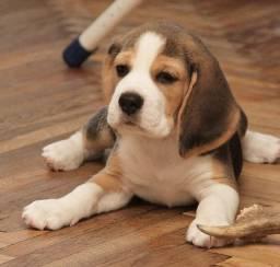 Dia Das Crianças!!! Aqui Beagle 13 Polegadas Filhote com Pedigree e Garantia de Saúde