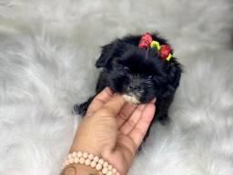 Maravilhoso filhote Shih tzu mini com pedigree