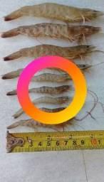 Camarão,  isca viva  para pesca