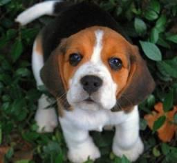 Amor de filhotes beagle 13 polegadas com vacina recibo pedigree