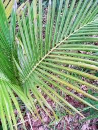 Muda de palmeira