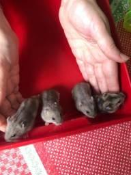 Vendo hamster anão russo - pra quem realmente for cuidar