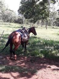 Cavalo quarto de milha PO a venda