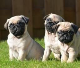 Machos e Fêmeas Pug Filhotes Garantia de saúde & Pedigree