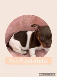 Fox Paulistinha com pedigree e microchip em até 18x