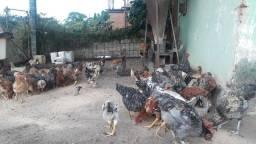 Vendo lote de frangos semi caipira