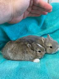 Mini coelhos Netherland Dwarf