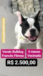 Bulldog Francês Fêmea 4 meses