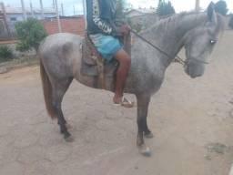 Cavalo poldo tordilha