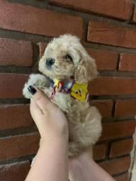 Poodle (somente machinhos)