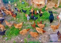 Vendo galinhas e galos Valor