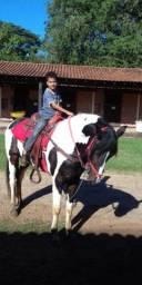 Cavalo Mangalarga pampa de castanho 5 anos