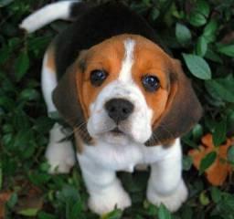 Filhotes Mini Beagle Pedigree ++ Garantia