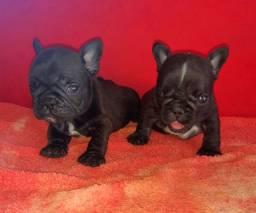 Bulldog Francês duplo gen