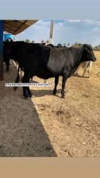 Vacas em lactação