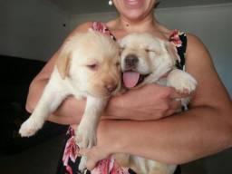 Labradores Filhotes Super Lindos