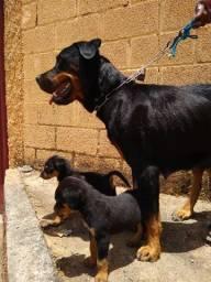 Rottweiler filhotes a venda
