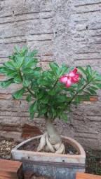 Adênio rosa