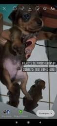 Filhote de Pinscher n°1