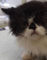 Gatos Persa himalaio Ragdoll fêmeas parc/entrego hoje chama no zap Lapa Sp