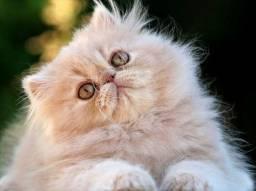 Gato persa adoção Leia