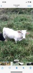 Casal de mini boi ( novilhinha e tourinho gersy)