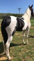 Cobertura de cavalo/garanhão MM pampa de preto (filho do Ulisses Meaípe)